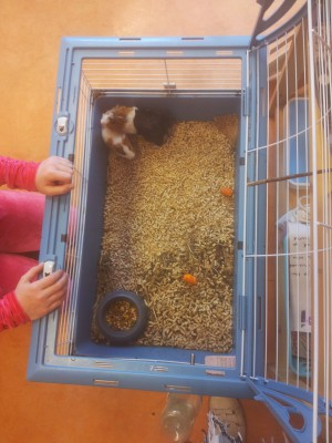 Ilanit and her young guinea pigs